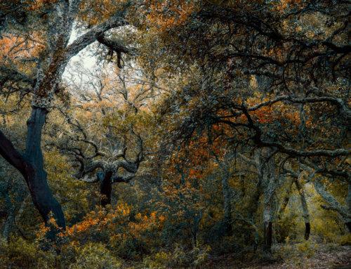El bosque de Alcornoques